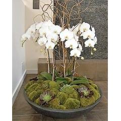 Orquídeas Phalaenopsis ¨ Terra¨