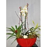 Orquídea phalaenopsis  Natura