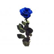 Rosa Azul preservada
